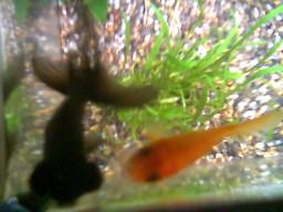 Pesce 1 e Pesce 2